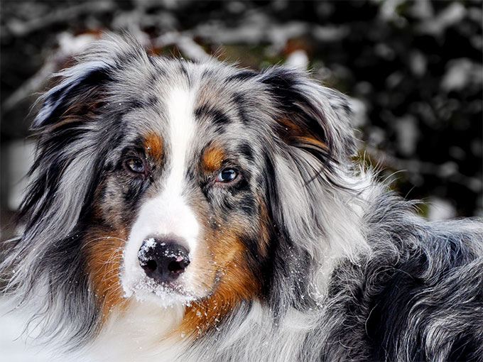 60 best pictures of australian shepherd dog
