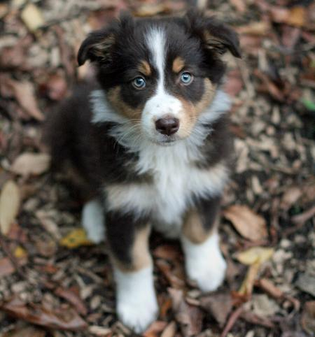 how to train an australian shepherd puppy