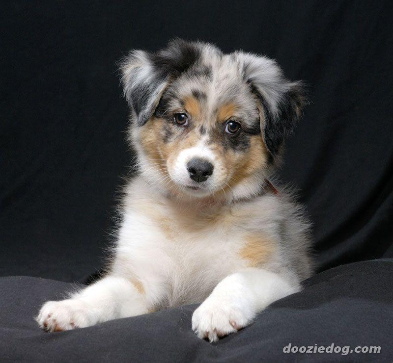 Australian Shepherd Puppy For Sale In United Arab Emirates