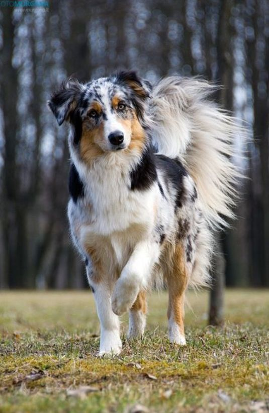 Tri Mix Before After : Best pictures of australian shepherd dog