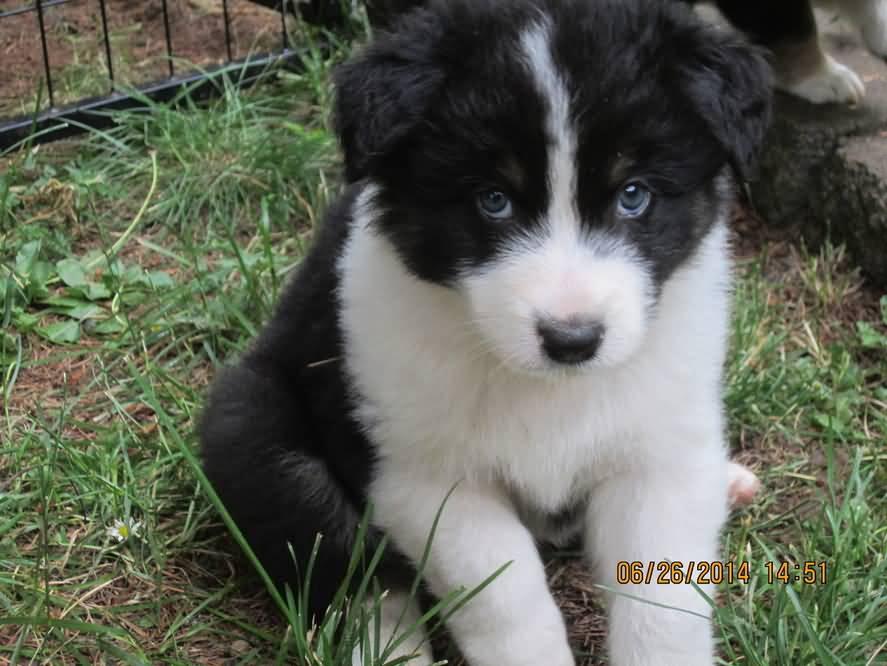 Mini australian sheep dog puppy