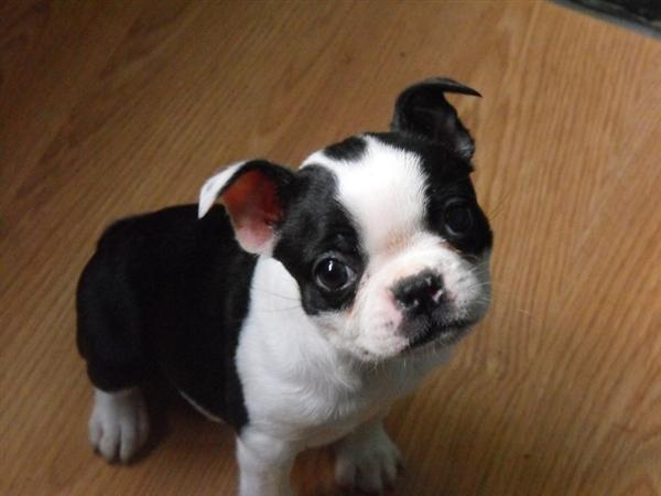 Bien connu Looking for a boston terrier puppy – Dog life photo YQ99