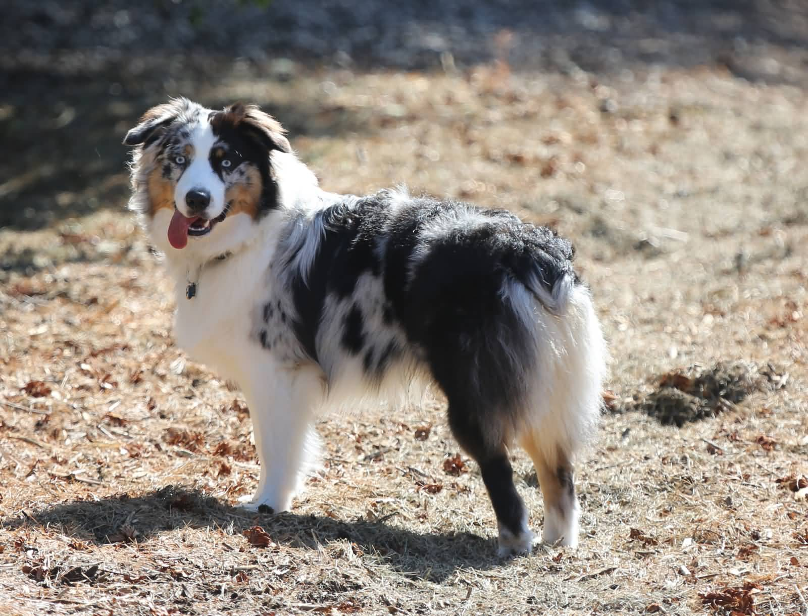 55 Adorable Australian Shepherd Dog Images And Pictures