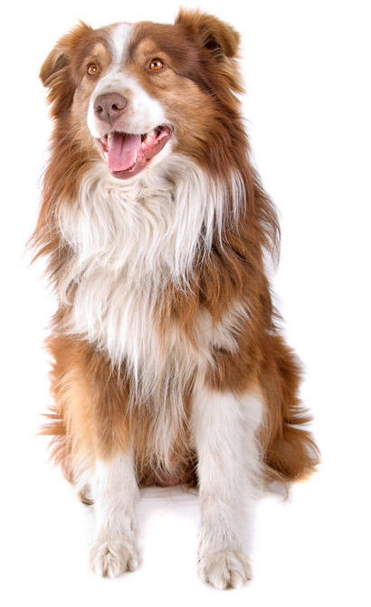 55+ Most Beautiful Australian Shepherd Dog Pictures And Photos