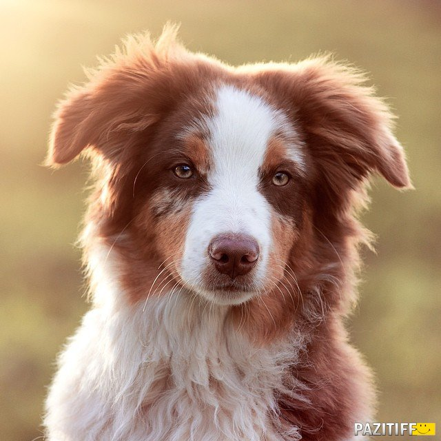 White And Brown Australian Shepherd 60 Best Pictures Of Au...