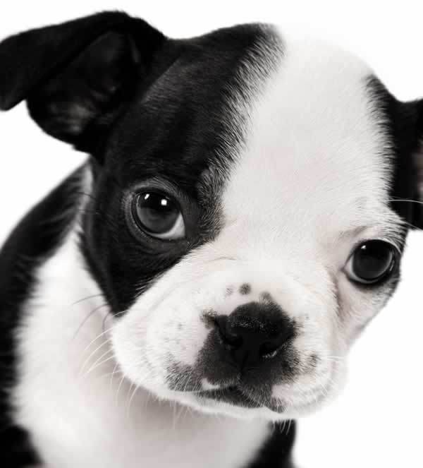 60 most beautiful boston terrier dog pictures and photos