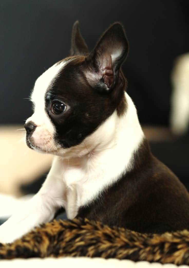 55 Most Cute Boston Terrier Puppy Pictures And Images