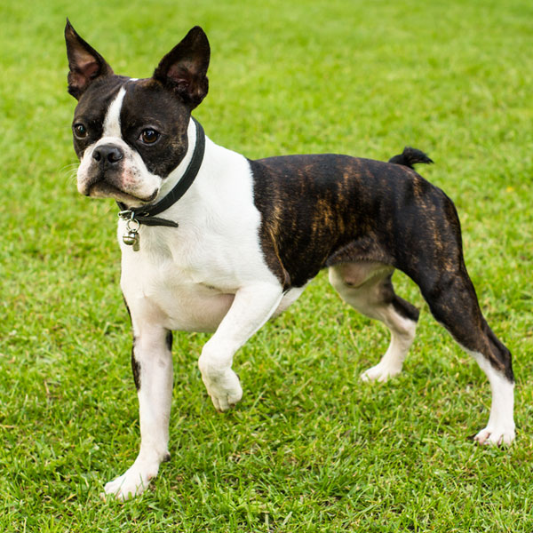 beautiful black brindle and white boston terrier puppies 60 most beautiful boston terrier dog pictures and photos 412