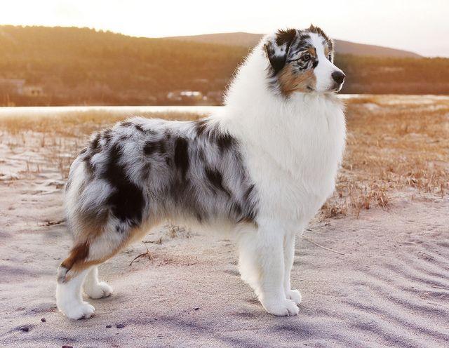 Most Beautiful Australian Shepherd Dog