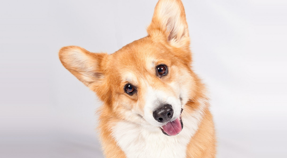 70+ Very Beautiful Pictures Of Pembroke Welsh Corgi Dog