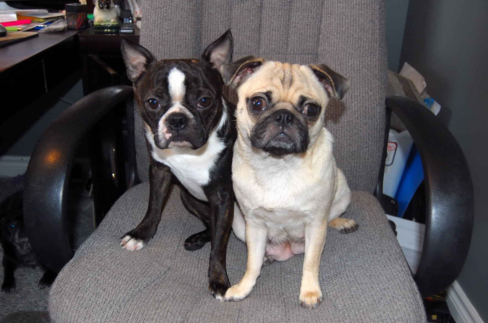 boston terrier pug mix puppies 60 most beautiful boston terrier dog pictures and photos 4004