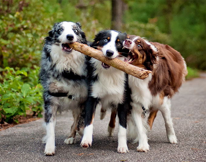 55 Most Beautiful Australian Shepherd Dog Pictures And Photos