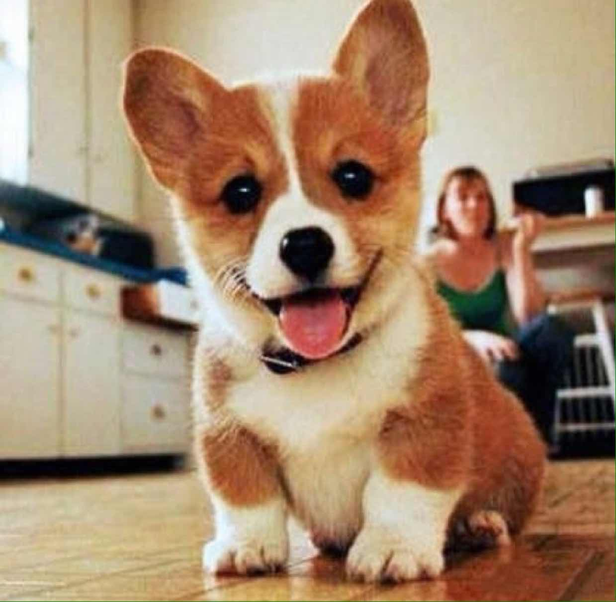 50 Very Cute Pembroke Welsh Corgi Puppies Pictures And Photos