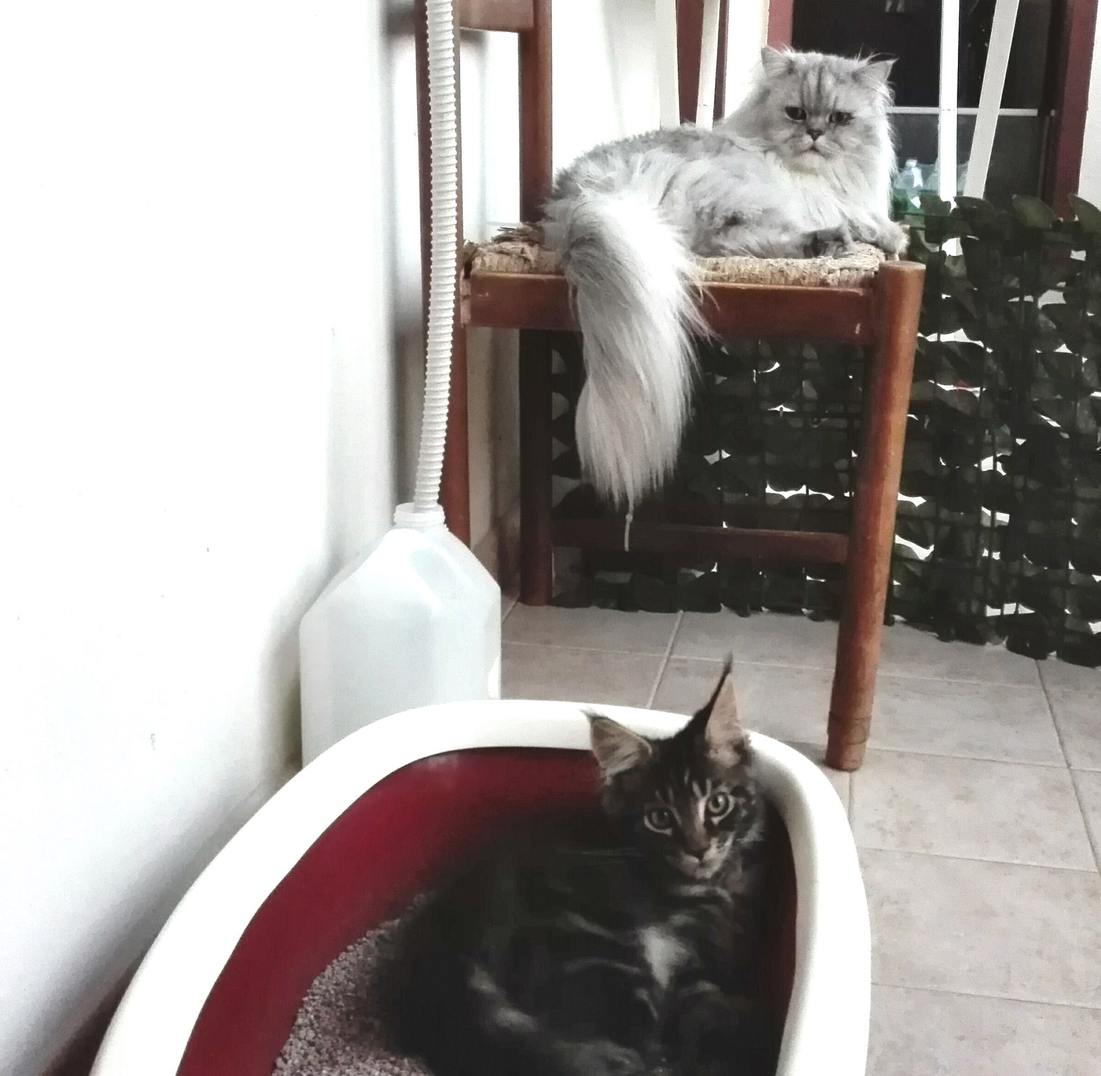 Romeo & Baloo persian cats
