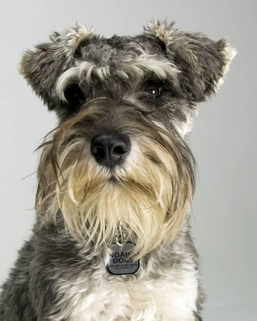 Adorable Miniature Schnauzer Dog Pictures