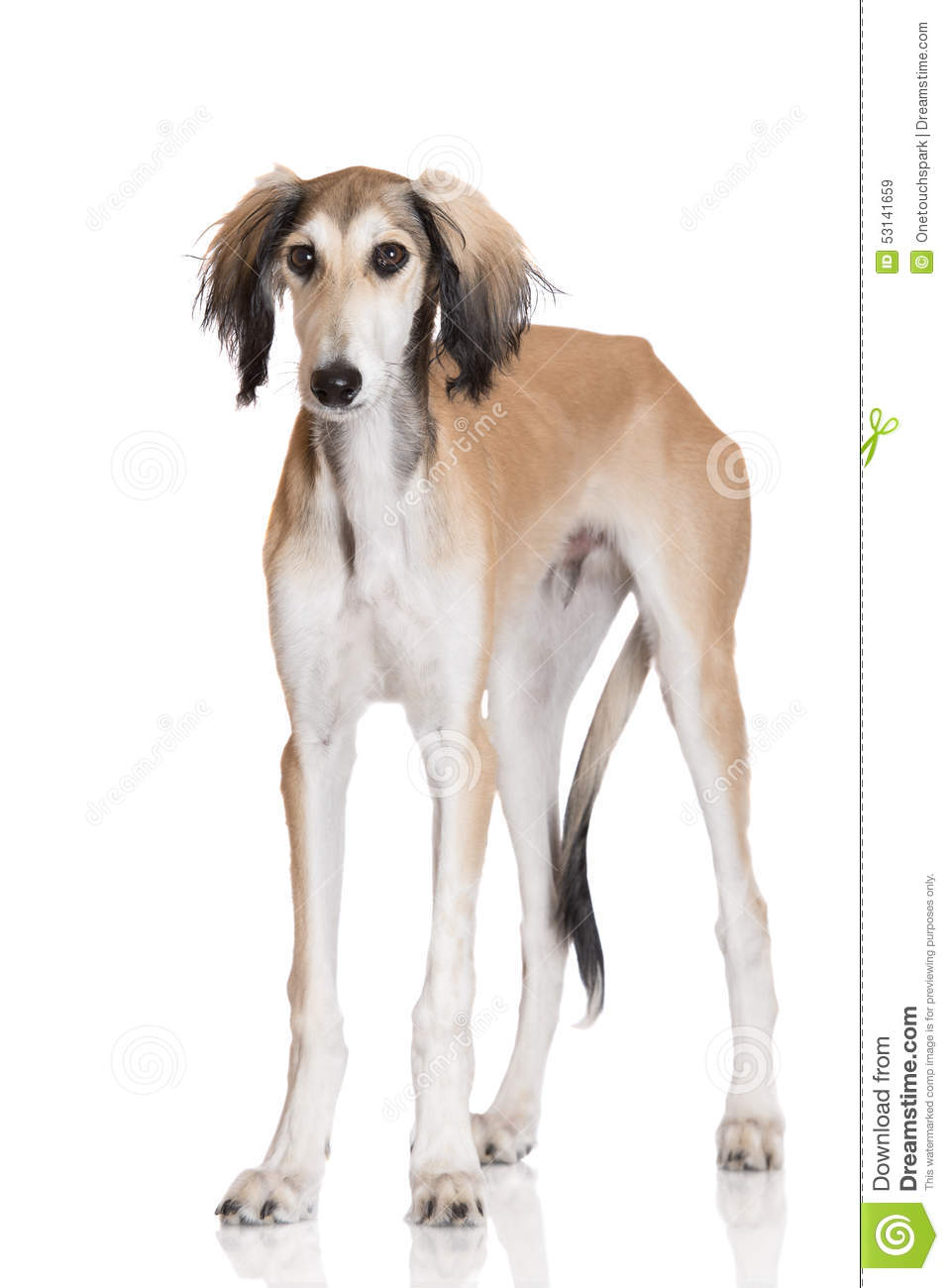 50 Adorable Saluki Dog Pictures And Images