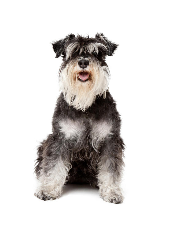 70 adorable miniature schnauzer dog images