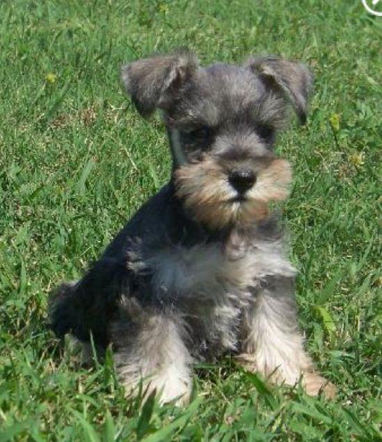 Little schnauzer dog