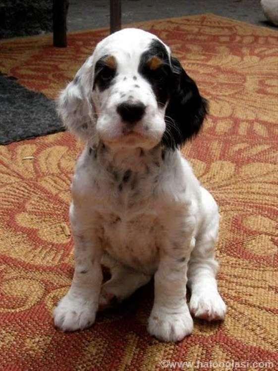 Black And White Setter Dog