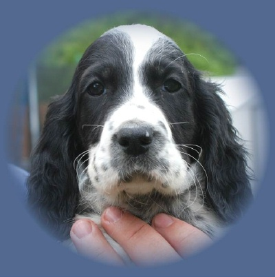 Black English Setter Puppies