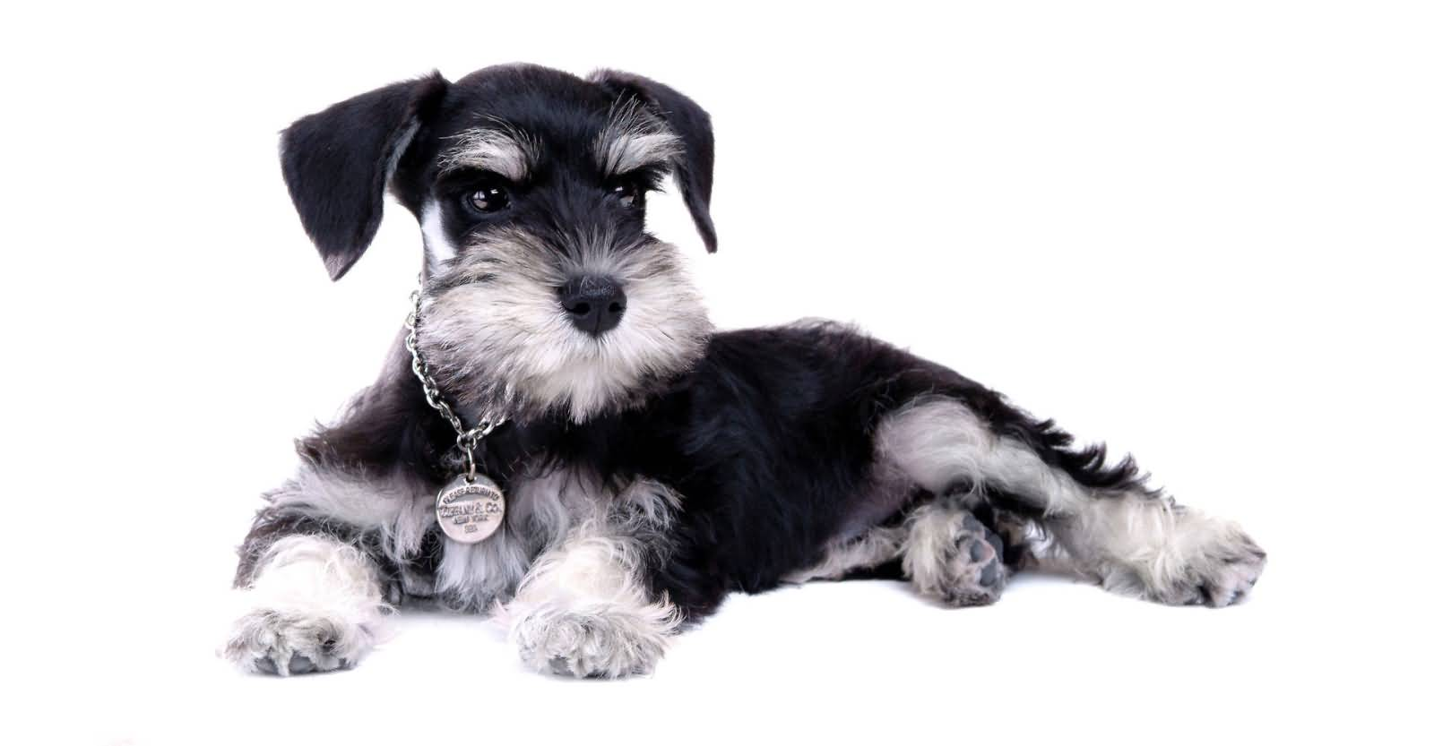 Black white miniature schnauzer