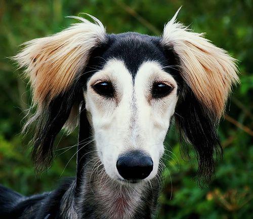 55 beautiful saluki dog pictures and photos