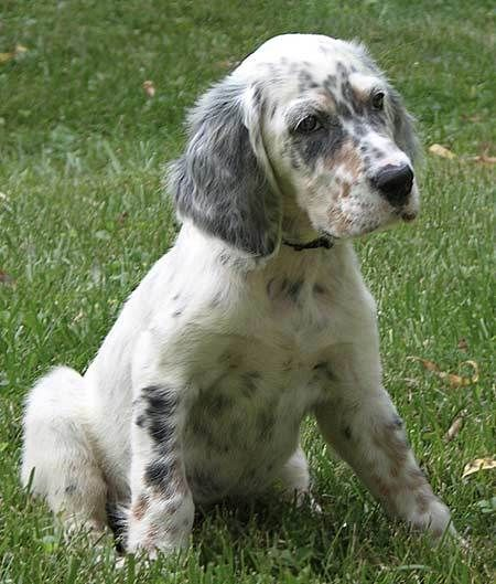 English Setter Puppy Outside