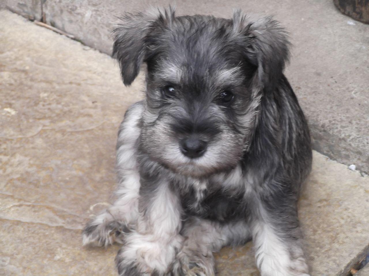70 Adorable Miniature Schnauzer Dog Images