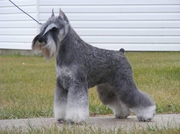 Miniature Schnauzer Hair Styles: 70 Adorable Miniature Schnauzer Dog Images