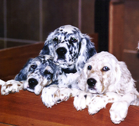 50 Beautiful English Setter Dog Pictures