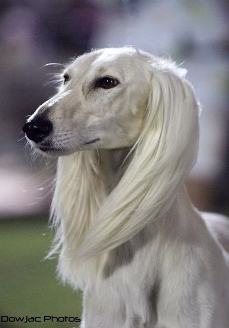 55 Beautiful Saluki Dog Pictures And Photos