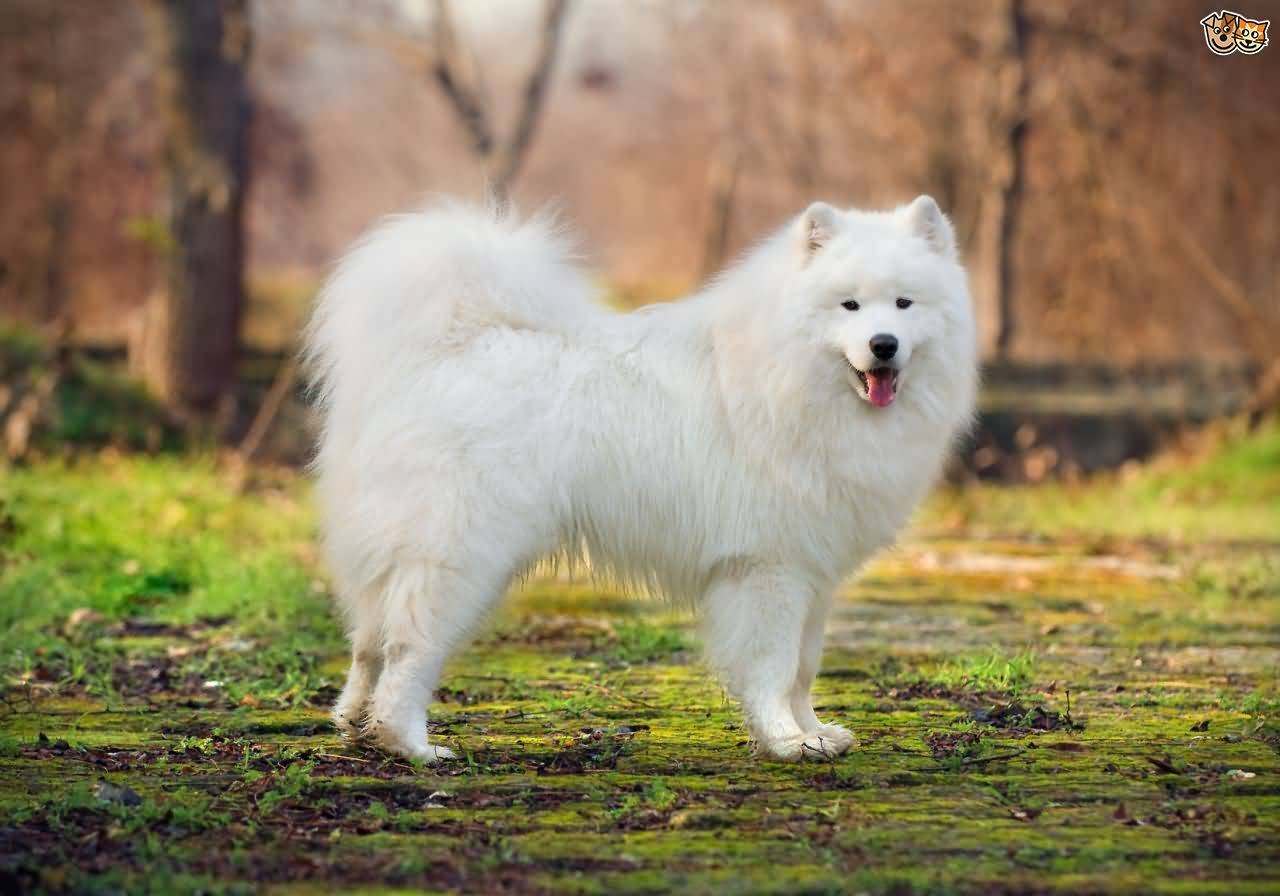 Adorable Samoyed Dog Wallpaper