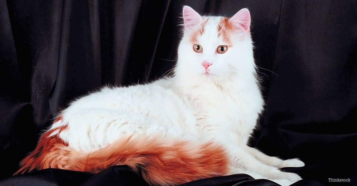50 Most Beautiful Turkish Van Cat Pictures