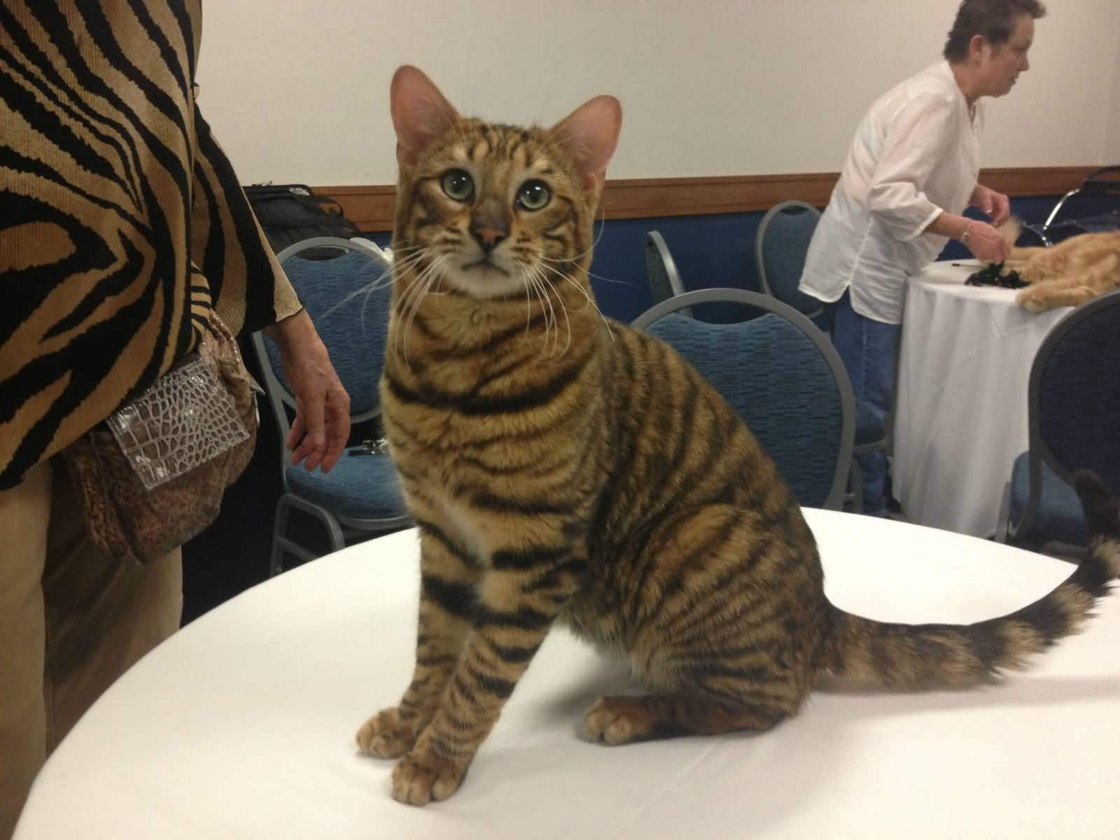 When Do Domestic Cats Breed
