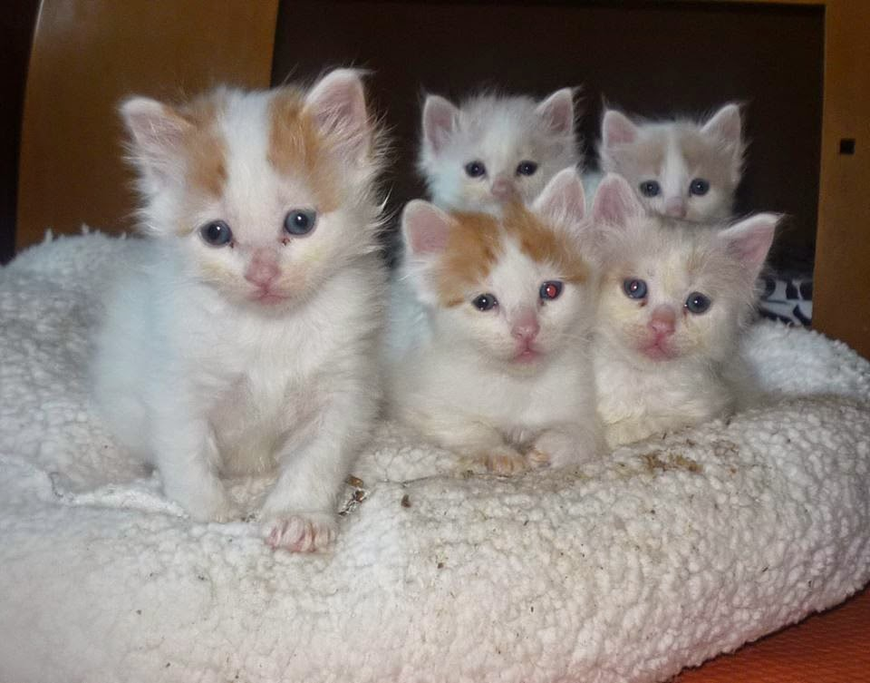0d1e7e2454 70 Adorable Turkish Van Cat Pictures And Images