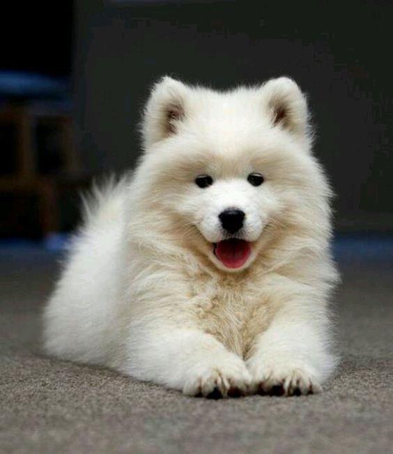 Resultado de imagen para samoyeds cute