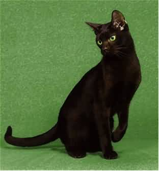 50 adorable brown havana cat pictures and images catons auto woodbridge va cat on sale for cheap