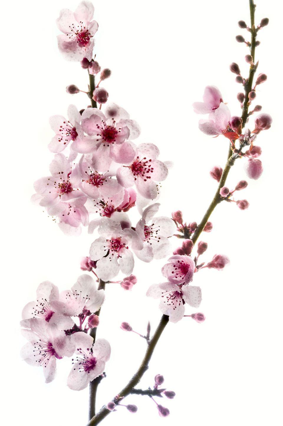 Cherry Blossom Flowers Tattoo Design