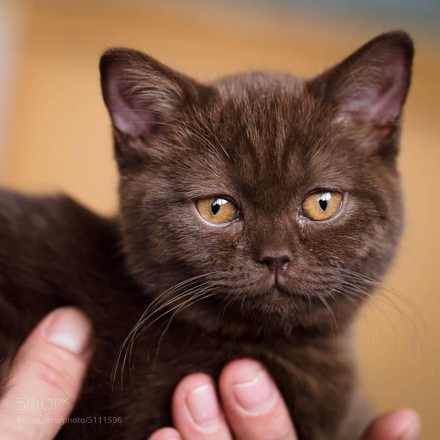 50 Adorable Brown Havana Cat And