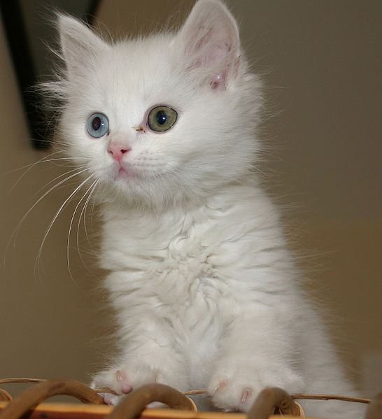 4d5c069d1b 50 Most Cute Turkish Van Kitten Pictures