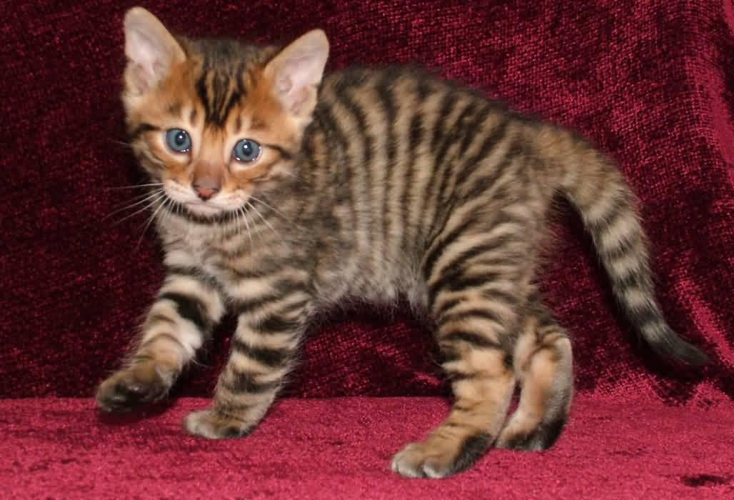 котята тайгера фото