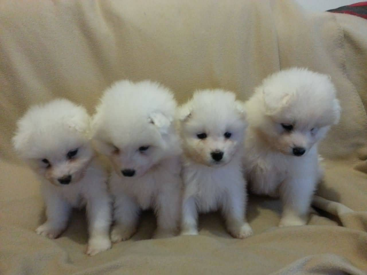 40 very cute pictures of samoyed puppies. Black Bedroom Furniture Sets. Home Design Ideas