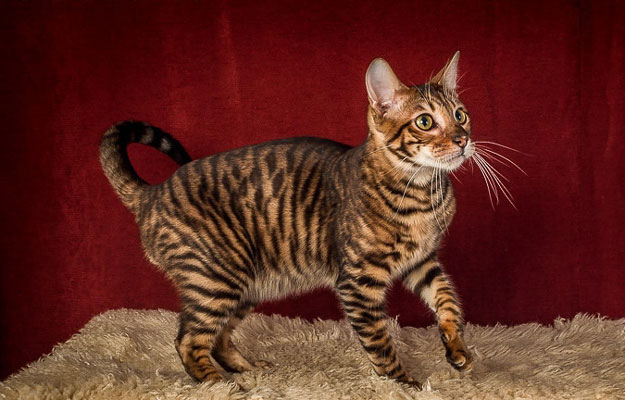 55 Amazing Toyger Cat Pictures And Photos
