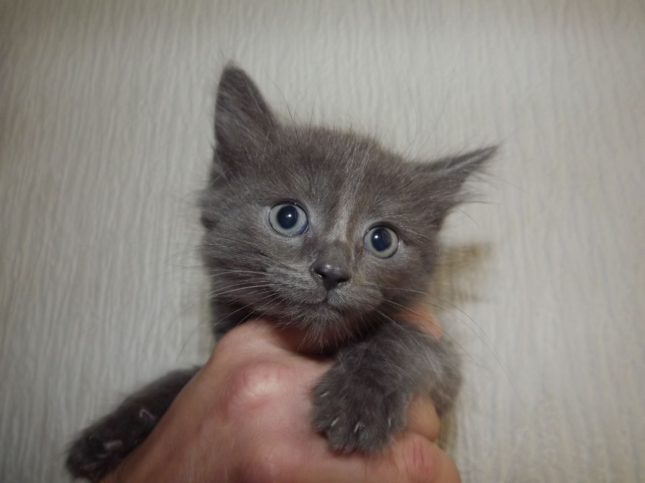 50 Beautiful LaPerm Cat Pictures And Photos Grey Fluffy Kittens