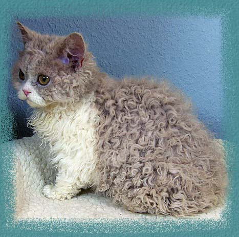 50 Beautiful Laperm Cat Pictures And Photos