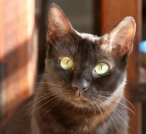 50 Adorable Brown Havana Cat Pictures And Images