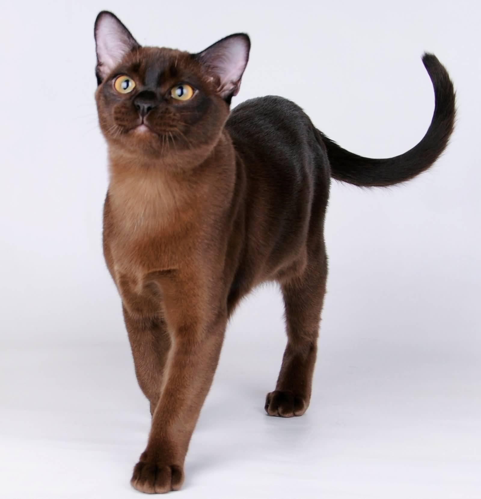45 Adorable Havana Brown Cat