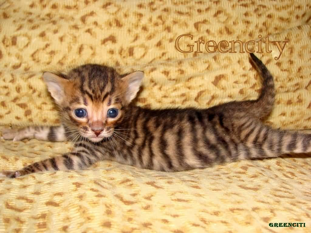 55 Very Beautiful Toyger Cat Pictures And Photos