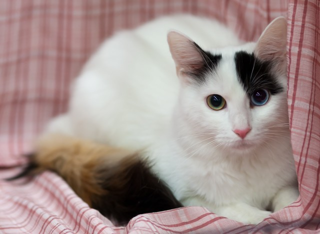 79ad33e132 70 Adorable Turkish Van Cat Pictures And Images