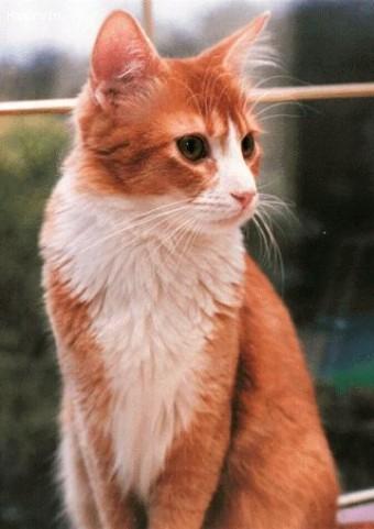 50 Adorable Laperm Cat Pictures